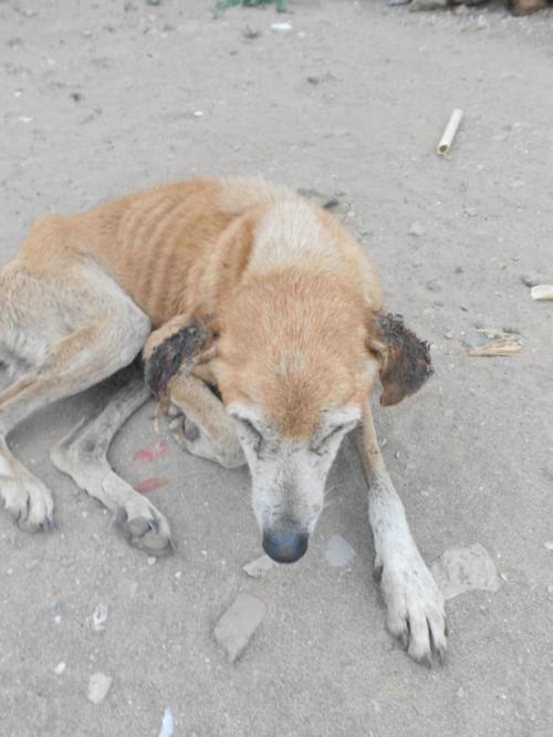 Un povero cane con le orecchie mangiate dai parassiti
